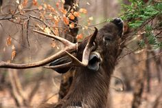 Sambar Deer.   21 Photos That Prove India Has The Most Majestic Wildlife In The World Sambar Deer, Stag Deer, Wildlife, Girly, Horses, Photo And Video, Nature, India, Animals
