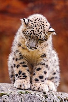 Baby snow leopard (Panthera uncia or Uncia uncia) is a moderately large cat native to the mountain ranges of Central Asia.  Snow leopards are crepuscular, being most active at dawn and dusk. They are known for being extremely secretive and well camouflaged.