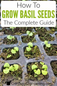 Growing basil from seed is easy once you know how! Learn all you need to be successful, from sowing to transplanting, in this complete step-by-step guide. Veg Garden, Garden Care, Garden Seeds, Spiral Garden, Veggie Gardens, Vegetable Gardening, Growing Vegetables, Growing Plants, Snake Plant Care