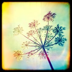Nature photography,Cow Parsley, Wild flowers, Ttv, Vintage, Wall decor by Fizzstudio on Etsy https://www.etsy.com/listing/124912020/nature-photographycow-parsley-wild
