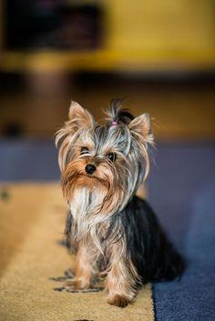 Yorkshire Terrier #yorkshireterrierpuppy