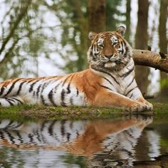 Photographic Print: Stunning close up Image of Tiger Relaxing on Warm Day Reflection in Water by Veneratio : 16x16in