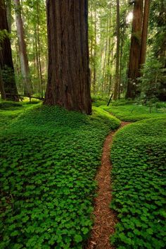 Forest path through the groundcover of Redwood Sorrel, in Humboldt Redwoods State Park, California. Photo: danielpivnick.com