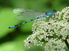 Free Image on Pixabay - Dragonfly, Blue, Insect, Close Up Free Pictures, Free Images, Insect Wings, Dragonflies, Public Domain, Historical Photos, Close Up, Insects, Clip Art