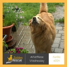 Golden logic: jumping in the lake is great but I don't like this rain stuff Happy #wetnosewednesday from Aurelia 2124 #goldenretriever #rescuedog #secondchances #adoptdontshop Shake It Off, Rescue Dogs, Pup, Happy, Rain, Bestfriends, Advice, Water, Rain Fall