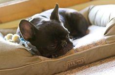 french-bulldog-sleeping_sized.jpg 658×432 pixels