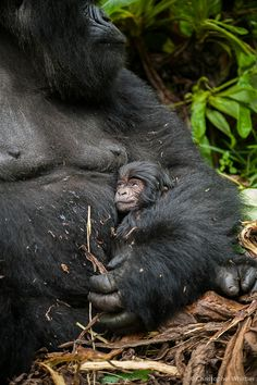"""The baby in this photo is just two days old. Ordinarily it's impossible to get a photo of a baby gorilla, as the moms are so protective. However, this mom, Mahirwe, is super habituated. Although she has the baby safely tucked under her arm, it's somewhat exposed. Gorillas are born with pink flesh on their faces that turns black within a couple of weeks."""