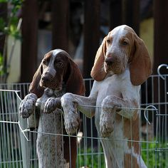 Bracco Italiano | by astolars