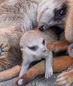 At the zoo in Gelsenkirchen, Germany, a newborn meerkat is kept warm and cozy by adults on a cold day.