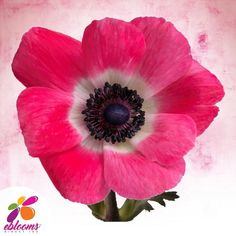 Anemones Hot Pink White and Dark Center Fresh Cut flower.  Features:  ✿ 10 Stems Anemones 40-45cm pack 120 stems ✿ Each stem has a minimum of 1 bloom; some stems may have more than one bloom ✿ Anemones may come in with distinctive Black centers; as the flower opens this center color will fade out. ✿ Anemones are a top-heavy flower and their stems have a natural tendency to bend. In order to achieve an upright straight stem, you may need to wire the stem. All Flowers, Bridal Flowers, Fresh Flowers, Bridal Bouquets, Bulk Flowers Online, Diy Wedding, Wedding Gifts, Hot Pink, Pink White