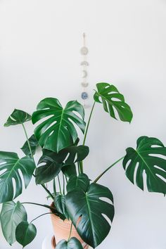 Indoor plant guide - 5 beginner plants you can't kill — CONNIE AND LUNA Indoor House plants guide - beginner plants you can't kill 5 Big Plants, Exotic Plants, Green Plants, Planet Decor, Flower Pot Design, Plant Guide, House Plants Decor, Big House Plants, Monstera Deliciosa