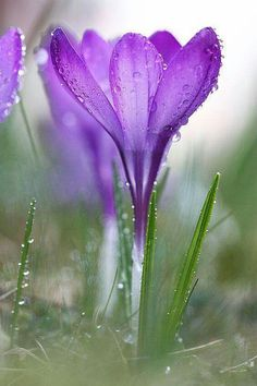 That weird natural transition from winter to spring where flowers bloom through snow and rain. (Photograph Crocus by William Andrey on Flowers Nature, Purple Flowers, Wild Flowers, Beautiful Flowers, Flower Photos, Pictures Of Spring Flowers, Mother Nature, Planting Flowers, Nature Photography