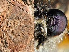 "A half-billion-year-old fossil ""compound"" eye (left)—likely from an ancient shrimplike predator—was surprisingly advanced for its time and gave its owner vision comparable to those of modern insects, such as the robber fly (right), a new study says.    The fossil eyes were found on Kangaroo Island (map) in southern Australia and are estimated to be about 515 million years old."