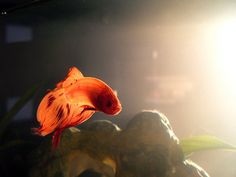 fish like a flame by Cherie Priest, via Flickr