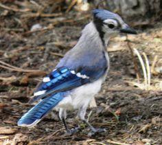 Wild Birds Unlimited Wild Birds Unlimited, Backyard Birds, Colorful Birds, Beautiful Birds, Gardening, Animals, Awesome, Ideas, Colourful Birds