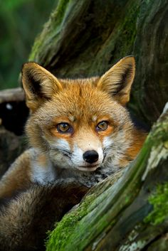 Beautiful Red Fox ~ By Roger Lemb  My favorite wild animal.