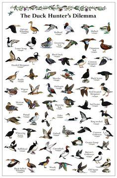Duck Hunter's Dilemma Duck Poster