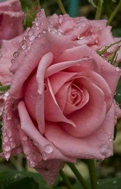 marigolds in garden Beautiful Pink Roses, Pretty Roses, Simply Beautiful, Exotic Flowers, Love Flowers, Marigolds In Garden, Roses Only, Rosa Rose, Hybrid Tea Roses