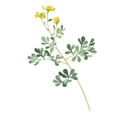 Rue (Ruta graveolens)- treatment for arthritis or any kind of inflammation