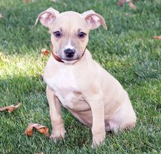 Riley is an adoptable Pit Bull Terrier Dog in Howell, MI. Abbey and Riley started life as two starving and terrified puppies born on the streets of Flint in the blistering heat of the middle of July, ...