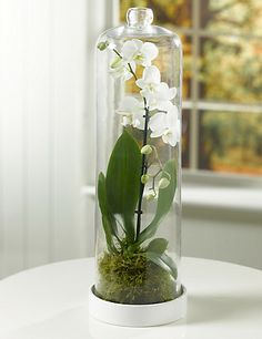 Contemporary white phalaenopsis orchid in a traditional glass terrarium. Pure & simple...