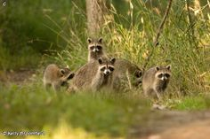 Raccoon Family  Fontenelle Forest