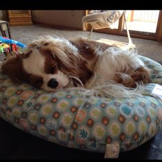 Piper napping! (cavalier king charles spaniel)