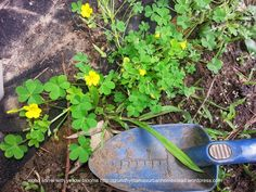 Wood Sorrel: A Vitamin C Rich Wild Food {my first weed, started eating these when I was 4}.