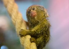 If you hope to see some baby monkeys over the half term break a visit to Twycross Zoo in the Midlands would be the perfect day out. There are four new babies to visit at the zoo, including the critically endangered black-headed spider monkey, a bright orange dusky langur and a pair of the world's …