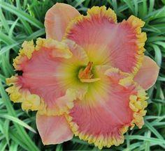 Pete Harry Daylilies... Daylilies Of Distinction