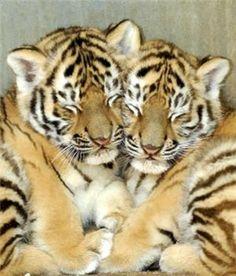 Cuddling tiger cubs