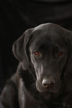 Mind Blowing Facts About Labrador Retrievers And Ideas. Amazing Facts About Labrador Retrievers And Ideas. Black Labs, Black Labrador, Black Lab Puppies, Dogs And Puppies, Doggies, Homeless Dogs, Labrador Retriever Dog, Labrador Puppies, Corgi Puppies