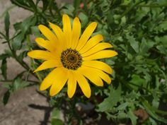 Second Silver - African Daisies Dimorphotheca aurantiaca also African Cape Marigold Annual Spring Plants, Spring Garden, Marigold, Daisies, Cape, Seeds, African, Flowers, Silver