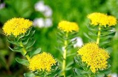 Low Energy Remedies - There are more than 100 known varieties of these herbs. Rhodiola rosea herbs are plants that grows in the arctic regions of Europe and Asia. Herbal Remedies, Health Remedies, Natural Remedies, Herbs For Health, Healthy Herbs, Eat Healthy, Healthy Living, Herbs List, Rhodiola Rosea