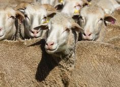 Sheep export facilities in Eastern Cape pass inspection