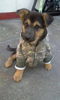 German Shepherds on