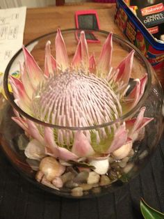 My wedding centre piece, king protea in a fish bowl on pebbles, sea glass and shells Modern Floral Arrangements, Wedding Arrangements, Wedding Table Settings, Wedding Table Centerpieces, Table Arrangements, Wedding Decorations, Table Decorations, Protea Wedding, Wedding Flowers