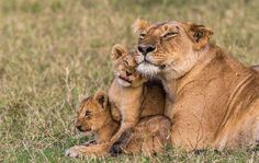 ... Mamma leonessa...!! #bigcat