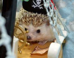 Pirate Hedgie