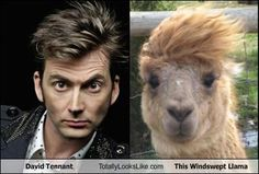 David Tennant totally looks like this windswept llama (alpaca?). :-D