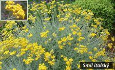 smil italsky kari ucinky na zdravi co leci pouziti uzivani vyuziti Herb Garden, Sea Shells, Herbs, Health, Plants, Gardening, Aromatherapy, Health Care, Seashells