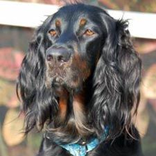 Gordon Setter I so miss my Jack and I miss my Duffy Dog (1998-2012)