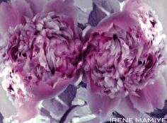 Peonies- Irene Mamiye