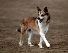 Norwegian Lundehund. This breed looks like the perfect size and great temperament!