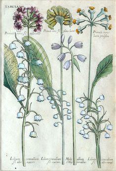 The Antiquarium - Antique Print & Map Gallery - Michael Valentini - Primula veris - Hand-colored copperplate engraving