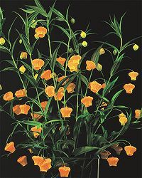 Variety: Sandersonia  Genus: Sandersonia  Colour: Orange