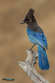 Photograph Steller's Jay by Chris Montano Jr.*