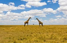 Unusual perspective shot depicting two giraffes and a tree in Masai Mara, Kenya