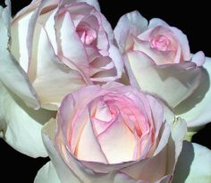 Hybrid Tea rose Moon Stone .... these almost GLOW! would love to have these close to my bedroom window so I could see them every morning....