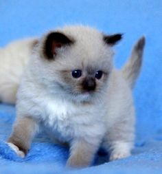 Ragdoll kittens are the cutest things... And they make such sweet pets.